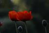 DSC_1315a (Fransois) Tags: morning flowers fleurs garden dof bokeh jardin matin popies pavots