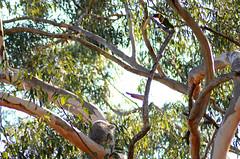 Koala and lorikeets (*cece*) Tags: koala qld logan lorikeets seqld