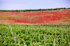 Entre viñedos y amapolas (Anxo Becerra) Tags: paisaje campo rueda vino amapola viñedos verdejo campodeamapolas