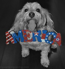 A Black and White Memorial Day Weekend (yourdesignerdog) Tags: summer pets white black cute dogs tongue america out photography blog memorial day all designer wordpress sunday patriotic posts ifttt