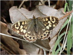 Speckled Wood (jenny*jones) Tags: canon woodland butterfly lepidoptera 1234 naturalworld westyorkshire naturephotography speckledwood nymphalidae satyrinae nwengland parageaegeria brushfootedbutterfly gtbritain may2016
