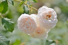 "rose, ""Rose-Marie"" (snowshoe hare*) Tags: flowers rose rosemarie botanicalgarden englishrose davidaustin  dsc0591"