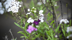 Wildflowers (MarkAnderson2) Tags: rain canon wildflower llens ef300mm 1dmk3 f4lisums
