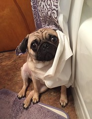 Winnie, why is there a shower curtain on your head?? (bluefairy63) Tags: pug