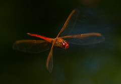 hovering dragon (William Miller 21) Tags: nature canon insect florida dragonfly wildlife flight 7d 300 f4 hover scarletskimmer washingtonoaksgardens