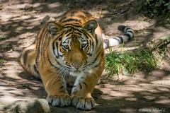 Tiger / Tigre (Doris & Michael S.) Tags: tiergarten tiere sonyilcaalpha77ii tiger tamronsp150600mm animals sonyilca77m2 tigre zoo