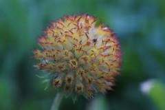 Flowers After the Flowers (bamboosage) Tags: lens 45 adapter 50 schneiderkreuznach componar