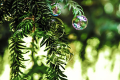 christmas comes early (gian_tg) Tags: reflection green bokeh outdoor depthoffield bubble bauble hmm conifer yewtree macromondays