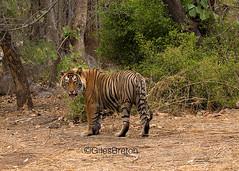 TIG01101GB_1 (giles.breton) Tags: india tiger tigers endangered ranthambhore panthera threatened andyrouse ranthambhorenationalpark pantheratigristigris royalbengaltiger dickysingh