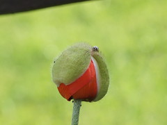 Mohnblte sprengt (bratispixl) Tags: nature germany jahreszeit oberbayern blumen blte kapsel frhling mohn chiemgau traunreut abwurf stadtrundweg bratispixl