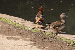 Mandarin ducks | Cannizaro Park (Paul Dykes) Tags: pond cannizaropark wimbledon wimbledonvillage london uk england bird fowl mandarinduck duck male female