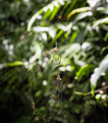 IMG_7642 IMG_7634-1 molting spider  Nephila pilipes (vlee1009) Tags: spiders july mating    molting  2016