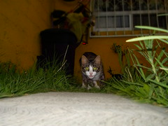 Al acecho (VoyagerAllan) Tags: naturaleza nature cat nikon gato felinos felino gatita nikoncoolpixs01