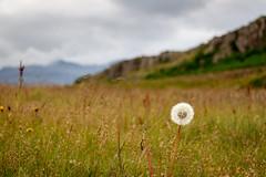 Pusteblume (carstengrahn) Tags: nature landscape island iceland natur meadow wiese grassland landschaft dandelionclock pusteblume blowball djpivogur bycarstengrahn canoneos760drebelt6s