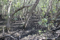 SOP-040716-014 (alison.klein) Tags: wetlands mangroves sydneyolympicpark