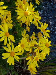 Two Shades of Yellow (Steve Taylor (Photography)) Tags: newzealand plant flower green grass sunshine yellow sunny nelson nz daisy southisland