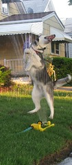 Shasta and a Water Sprinkler (William Wilson 1974) Tags: summer dog pet playing animal puppy husky action niagara siberianhusky pup playful actionshot westernnewyork wny huskie puppie olean coolingoff