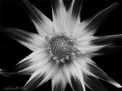 """""""Our hearts are with the Orlando victims and their families who have been affected"""" (NaturewithMar) Tags: dahlia flower blackandwhite monochrome flor"""