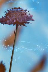 Interstellar Delivery Service (Rasputin AK-47) Tags: canon fd slr 35mm kleinbild analog analogue film filmphotography filmisnotdead   ak47 canona1 a1 canonfd85mm 85mm blue orange blau stiel blume universum zustellung weg path universe galaxy milkyway orbit ant ameise art striking home delivery interstellar fuji fujichrome soaped unique artistic forward beyond macro closeup