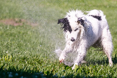 Sprinkler Fetish (Crawford Canines) Tags: summer dog animal puppy puppies play sprinkler tug bordercollie summerfun fetch holleeroller