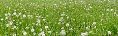 Blowballs (MJWoerner49) Tags: childhood fun funny meadow blow dandelion mountainmeadow childhoodmemories dandelionclock blowball
