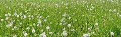 Blowballs (MJWoerner49) Tags: childhood fun funny meadow blow dandelion mountainmeadow childhoodmemories dandelionclock blowball