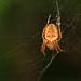 Patio Spider