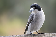 Grey Butcher Bird (Eduardo_il_Magnifico) Tags: bird animal outdoors bokeh wildlife australia nsw newsouthwales butcherbird tamron70300mm coombapark nikond750