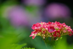 あじさい (紫陽花) /Hydrangea macrophylla (nobuflickr) Tags: flower nature japan kyoto 日本 hydrangea 花 紫陽花 あじさい hydrangeamacrophylla thekyotobotanicalgarden 京都府立植物園 awesomeblossoms アジサイ科アジサイ属 20160610dsc02606