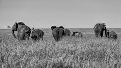 All but(ts) no ifs (AchilleaMS) Tags: africa blackandwhite nature monochrome field landscape kenya outdoor wildlife safari elephants herds masaimaranationalreserve narok canon200400mm canoneos1dx canonef200400mmf4lisusm