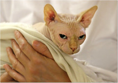 Hello friends ! (Simply Viola) Tags: pet animal cat feline felino gatto animale catshow sphynxcat mostrafelina sfilatadeigatti
