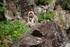 Who's looking (ellievking1) Tags: nature animals japan monkeys hotspring nagano jigokudani macaques monkeypark yudanaka