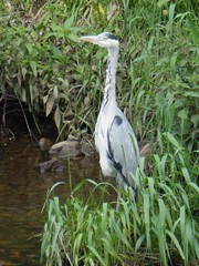A heron on the bank of the River Mersey seen from the A34 (stillunusual) Tags: city uk england urban bird heron nature landscape manchester wildlife stockport urbannature urbanwildlife riverbank mersey kingsway urbanlandscape greyheron mcr a34 urbanscenery 2016 rivermersey