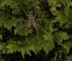 Spider in the Moss (Bonnie Ott...Off to Alaska!) Tags: patapscovalleystatepark daniels spider arachnid