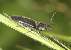 Click Beetle (12-13mm) (Prank F) Tags: uk macro nature closeup insect wildlife beetle click rutland ketton wildlifetrust lrwt kettonquarry