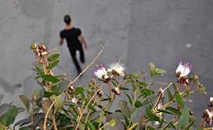 Passeggiando sulle Mura Medicee - Walking over the Medicean Walls (Jambo Jambo) Tags: italy italia streetphotography tuscany toscana grosseto capers maremma capperi muramedicee maremmatoscana nikond5000 jambojambo mediceanwalls