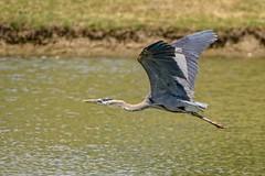 Moving Through (brev99) Tags: bird pond ngc greatblueheron bif birdinflight d7100 nikviveza topazdenoise topazdetail tamron70300vc highqualityanimals