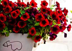 Phalla-Petunias (mheidelberger2000) Tags: indiana morgantown petunias flower red phallic phallus graffiti orton ortonprocess sharpie maroon overexposed summer flora leaves planter plant immature humor