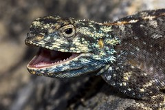 Southern Rock Agama (Agama atra) (bush_cow) Tags: africa nature canon southafrica dragon reptile wildlife teeth ngc lizard scales herps naturephotography agama fieldherping wildlifephotography 70d herping angrylizard 55250mmstm herpingsouthafrica