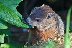 Groundhog (jacques.pinette) Tags: new canada animal rodent wildlife brunswick woodchuck marmot marmota whistlepig monax