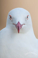 Silver Gull (Larus novaehollandiae) (Ian Colley Photography) Tags: portrait bird queensland bowen silvergull larusnovaehollandiae