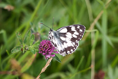 Butterfly resting on a thistle. (mattjevans_photo) Tags: buttery grass black white purple pink green nature 500px
