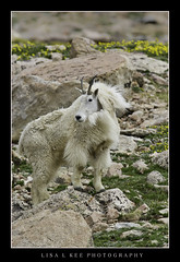 """Queen of the Mountain"" (Lisa L Kee Photography) Tags: lisalkee lisalkeephotography canon7d canon colorado 30thanniversarytrip wildlife nature goat mountaingoat mtevans"