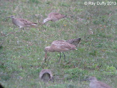 Marbled Godwits & Whimbrel - Mad River Rapids RV Park Arcata, CA - 04/20/13 (kdxshiryu) Tags: nature birds marbled whimbrel godwit