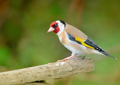 The Colours Of Spring - Goldfinch (Osgoldcross Photography) Tags: wood red bird nature yellow fly flying spring nikon raw bokeh song goldfinch beak feathers naturalhistory finch perch perched avian springtime rspb twitter twittering rspbfairburnings sigma150500mm nikond7100
