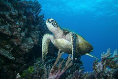 turtle paradise (BarryFackler) Tags: ocean life sea nature water ecology animal coral fauna island hawaii polynesia bay marine underwater pacific turtle reptile being dive scuba diving sealife pacificocean tropical marinebiology diver honu bigisland aquatic reef creature seaturtle biology undersea kona cheloniamydas ecosystem coralreef marinelife vertebrate zoology seacreature greenseaturtle marineecology organism honaunau konacoast hawaiicounty southkona hawaiiisland 2013 marineinvertebrate hawaiiangreenseaturtle honaunaubay marineecosystem westhawaii marinereptile konadiving bigislanddiving hawaiidiving sealifecamera barryfackler barronfackler cmydas