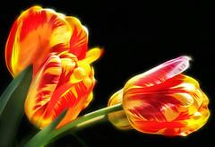 Banja Luka Tulips (dbullens) Tags: yahoo tulips bing worcester onblack thechallengefactory banjalukatulip mygearandme me2youphotographylevel2 me2youphotographylevel1