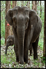 Asian Elephant (Amit Krishna) Tags: elephant canon asian mammals elephasmaximus