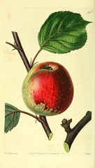 n153_w1150 (BioDivLibrary) Tags: fruitculture greatbritain periodicals umassamherstlibrariesarchiveorg bhl:page=21837463 dc:identifier=httpbiodiversitylibraryorgpage21837463 artist:name=augustainneswithers artist:viaf=95819243 apple taxonomy:common=barcelonapearmain taxonomy:binomial=maluspumila womeninscience augustainneswithers q2870951 illustrator:wikidata=q2870951 hernaturalhistory