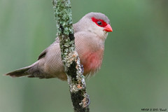 Bico-de-lacre (Estrilda astrild) - Common Waxbill (Marcus Vinicius Lameiras) Tags: nature birds brasil de photo flickr marcus natureza aves fotografia common vinicius waxbill jardimbotnicodoriodejaneiro estrilda astrild bicodelacre 9047 mavila lameiras canon7dlens100400mm